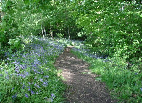 Blubells along a wooded path