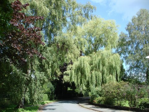 View of silver birch and willow trees on Mill Lane in summer