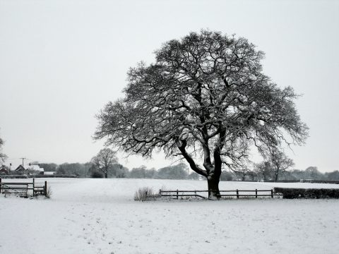 Winter photo of a large tree and fields covered in snow