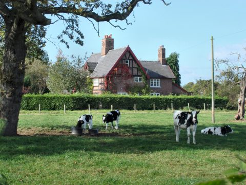 view of cows in a field in front of a cottage